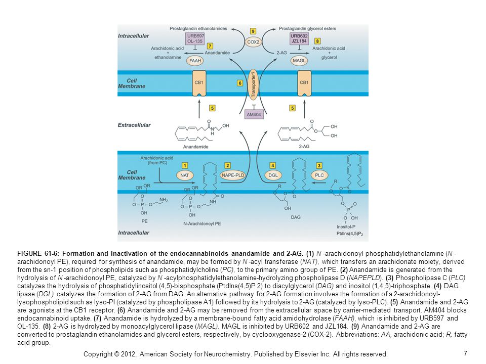 7 FIGURE 61-6: Formation and inactivation of the endocannabinoids anandamide and 2-AG.