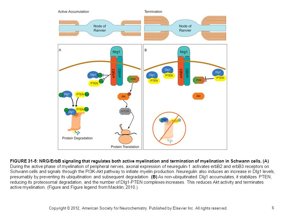 6 FIGURE 31-5: NRG/ErbB signaling that regulates both active myelination and termination of myelination in Schwann cells. (A) During the active phase