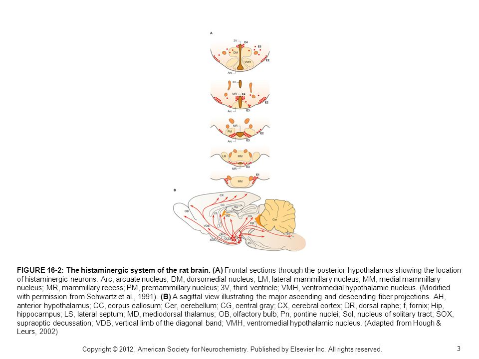 3 FIGURE 16-2: The histaminergic system of the rat brain.