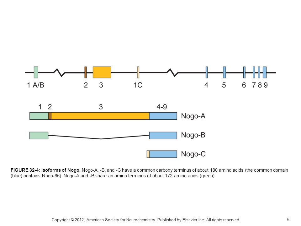 6 FIGURE 32-4: Isoforms of Nogo. Nogo-A, -B, and -C have a common carboxy terminus of about 180 amino acids (the common domain (blue) contains Nogo-66