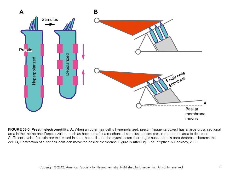 6 FIGURE 53-5: Prestin electromotility.