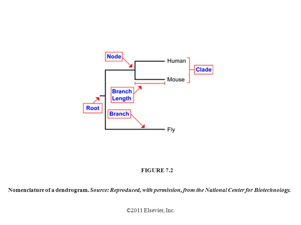 ©2011 Elsevier, Inc. Nomenclature of a dendrogram.