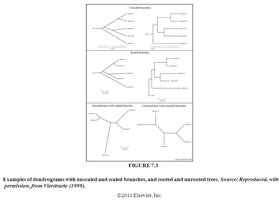 ©2011 Elsevier, Inc. Examples of dendrograms with unscaled and scaled branches, and rooted and unrooted trees. Source: Reproduced, with permission, fr