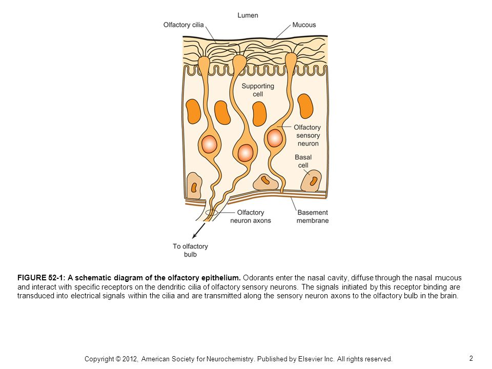2 FIGURE 52-1: A schematic diagram of the olfactory epithelium.