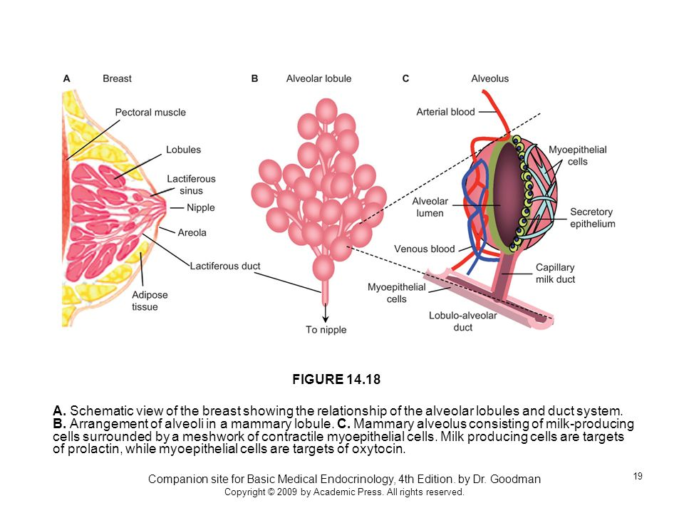 Companion site for Basic Medical Endocrinology, 4th Edition. by Dr. Goodman Copyright © 2009 by Academic Press. All rights reserved. 19 A. Schematic v