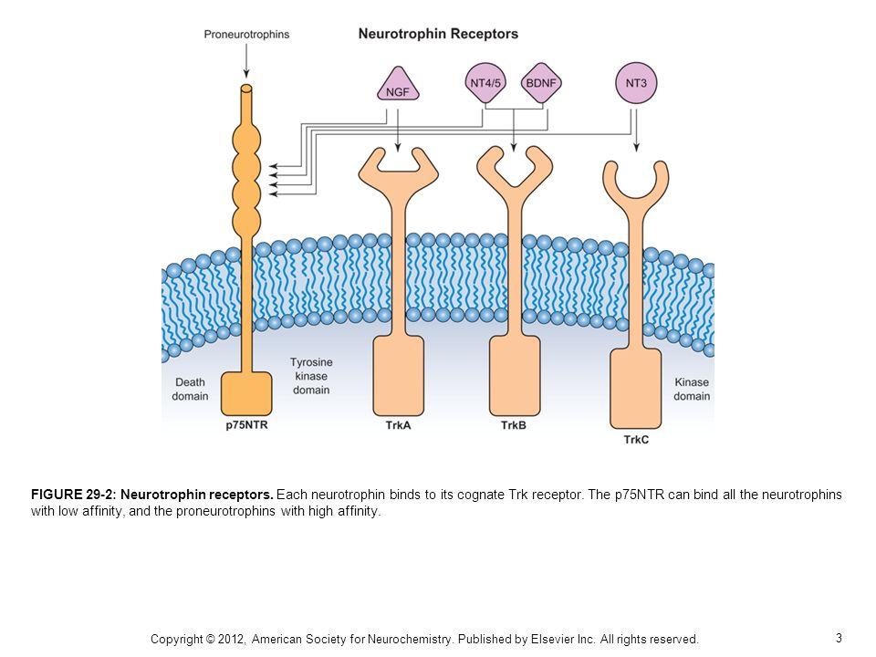 3 FIGURE 29-2: Neurotrophin receptors. Each neurotrophin binds to its cognate Trk receptor.