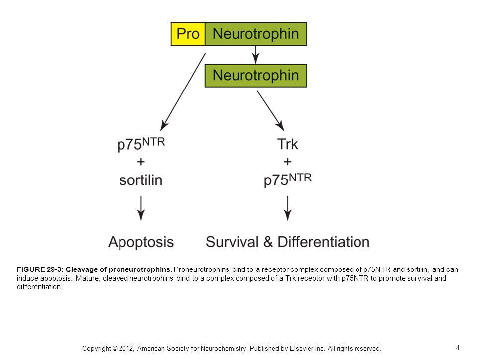 4 FIGURE 29-3: Cleavage of proneurotrophins.