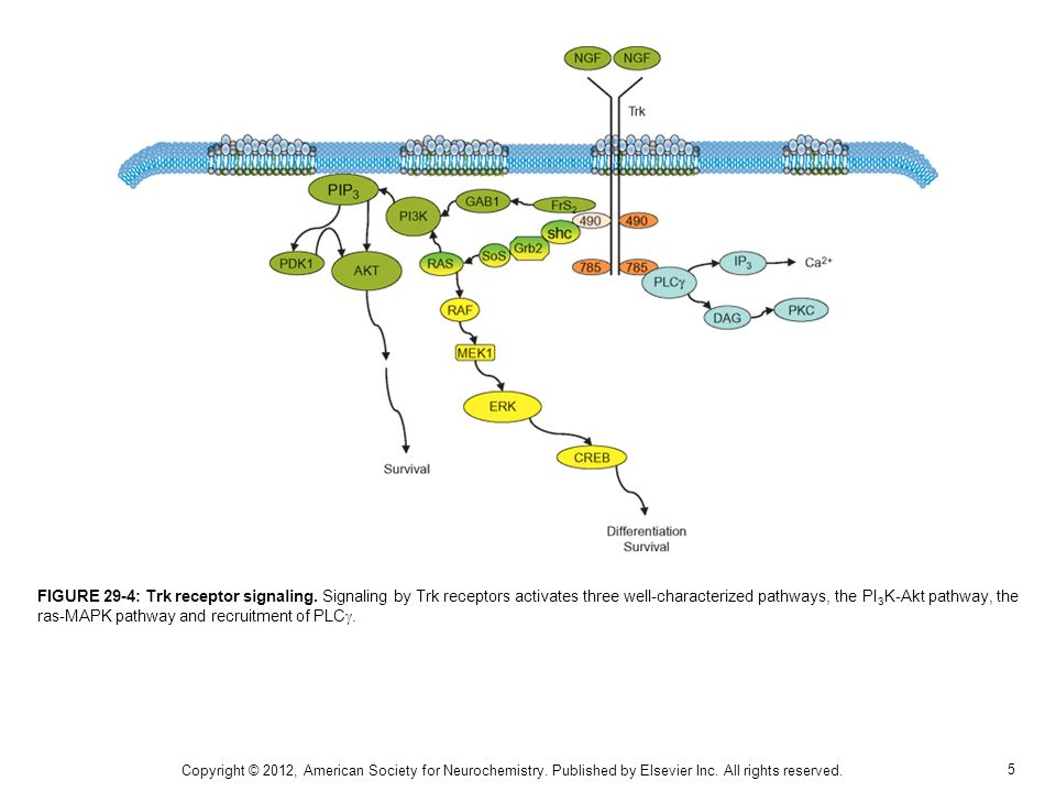 5 FIGURE 29-4: Trk receptor signaling. Signaling by Trk receptors activates three well-characterized pathways, the PI 3 K-Akt pathway, the ras-MAPK pa