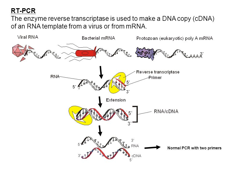 RT-PCR The enzyme reverse transcriptase is used to make a DNA copy (cDNA) of an RNA template from a virus or from mRNA. Normal PCR with two primers