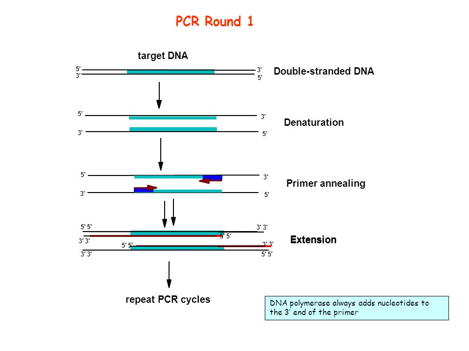 Primer annealing 5' 3' target DNA repeat PCR cycles 5' 3' Double-stranded DNA Denaturation 5' 3' Extension 3' 5' 3' 5' 3' Extension PCR Round 1 DNA po