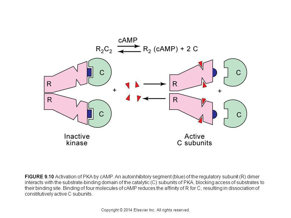 Copyright © 2014 Elsevier Inc. All rights reserved. FIGURE 9.10 Activation of PKA by cAMP. An autoinhibitory segment (blue) of the regulatory subunit