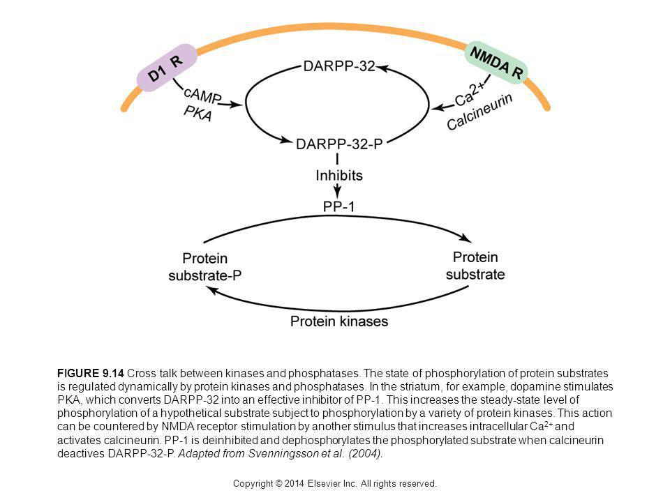 Copyright © 2014 Elsevier Inc. All rights reserved. FIGURE 9.14 Cross talk between kinases and phosphatases. The state of phosphorylation of protein s