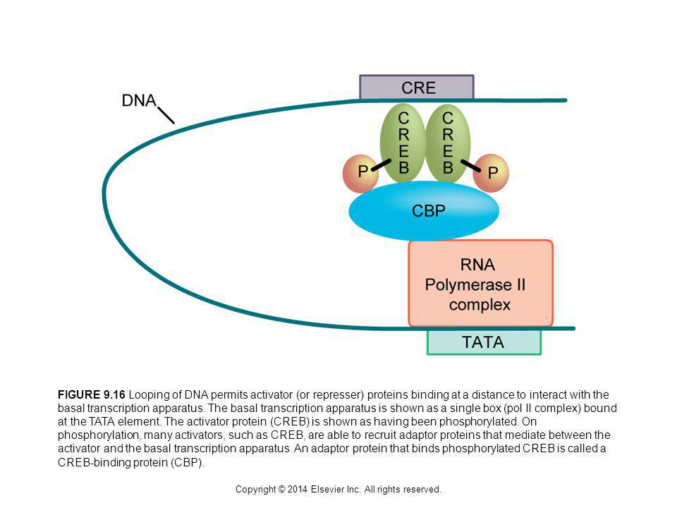 Copyright © 2014 Elsevier Inc. All rights reserved. FIGURE 9.16 Looping of DNA permits activator (or represser) proteins binding at a distance to inte
