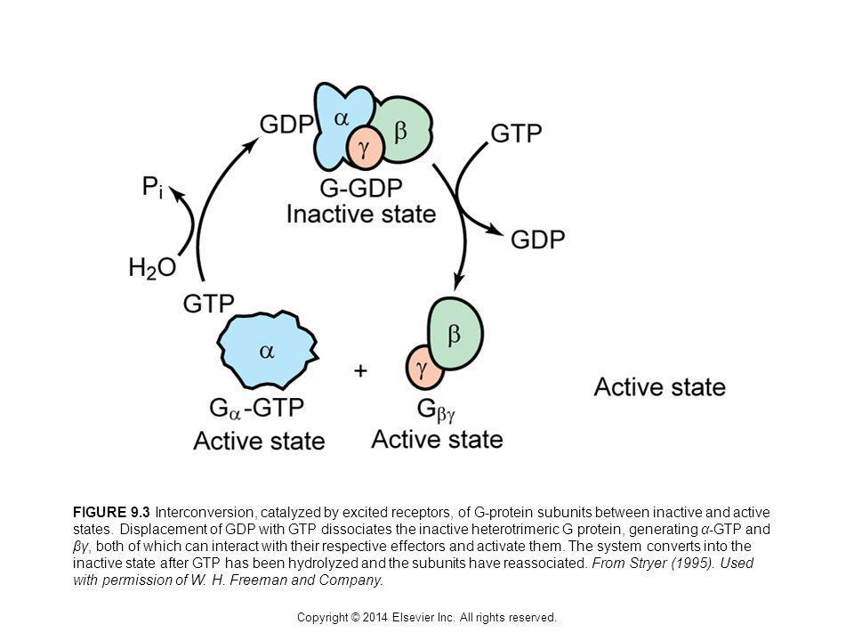 Copyright © 2014 Elsevier Inc. All rights reserved. FIGURE 9.3 Interconversion, catalyzed by excited receptors, of G-protein subunits between inactive