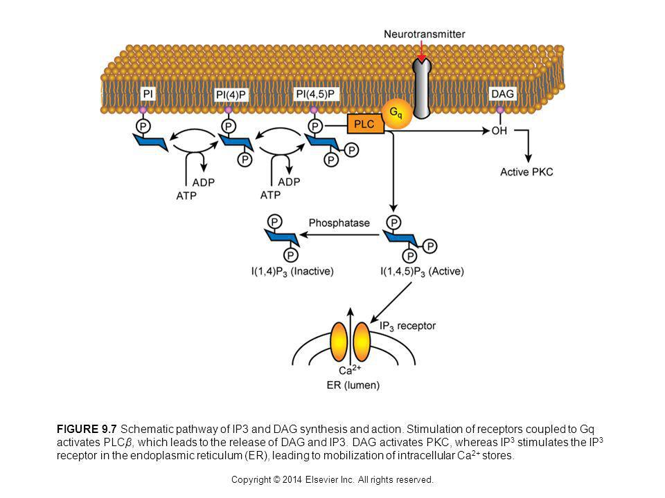 Copyright © 2014 Elsevier Inc. All rights reserved. FIGURE 9.7 Schematic pathway of IP3 and DAG synthesis and action. Stimulation of receptors coupled