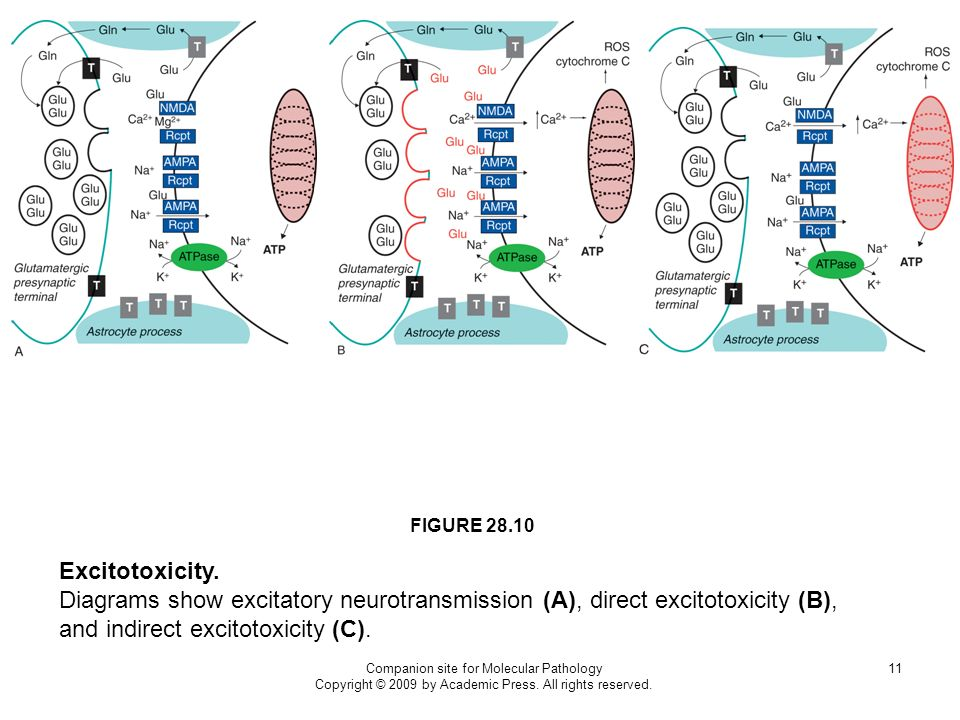 Companion site for Molecular Pathology Copyright © 2009 by Academic Press. All rights reserved. 11 FIGURE 28.10 Excitotoxicity. Diagrams show excitato