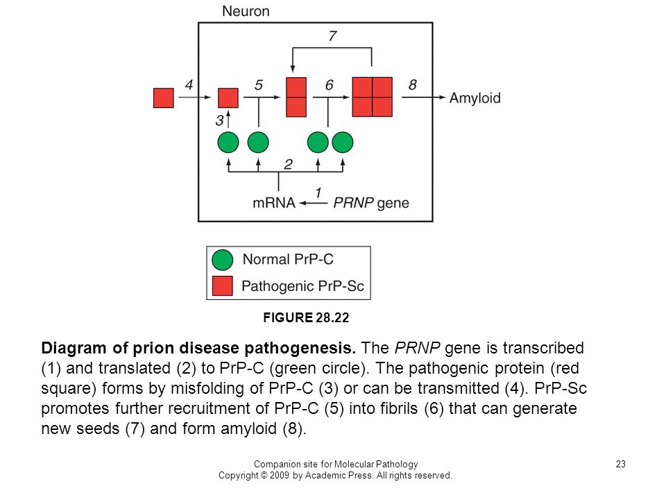 Companion site for Molecular Pathology Copyright © 2009 by Academic Press. All rights reserved. 23 FIGURE 28.22 Diagram of prion disease pathogenesis.
