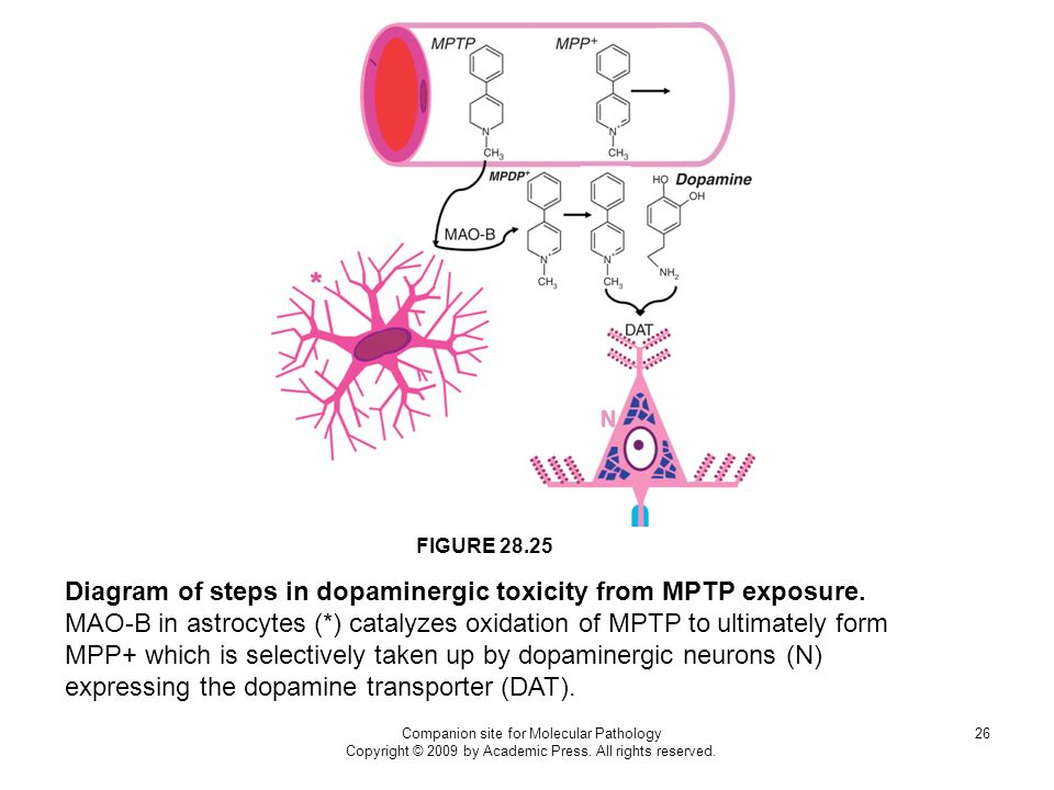 Companion site for Molecular Pathology Copyright © 2009 by Academic Press. All rights reserved. 26 FIGURE 28.25 Diagram of steps in dopaminergic toxic