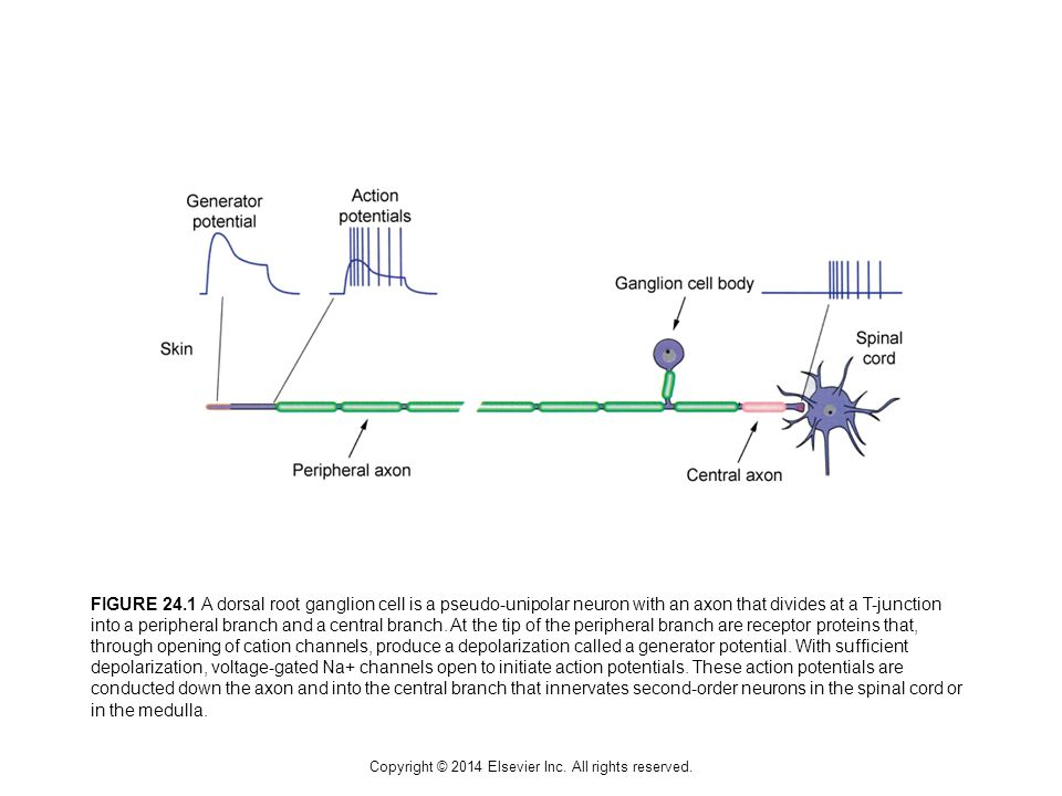 FIGURE 24.1 A dorsal root ganglion cell is a pseudo-unipolar neuron with an axon that divides at a T-junction into a peripheral branch and a central b
