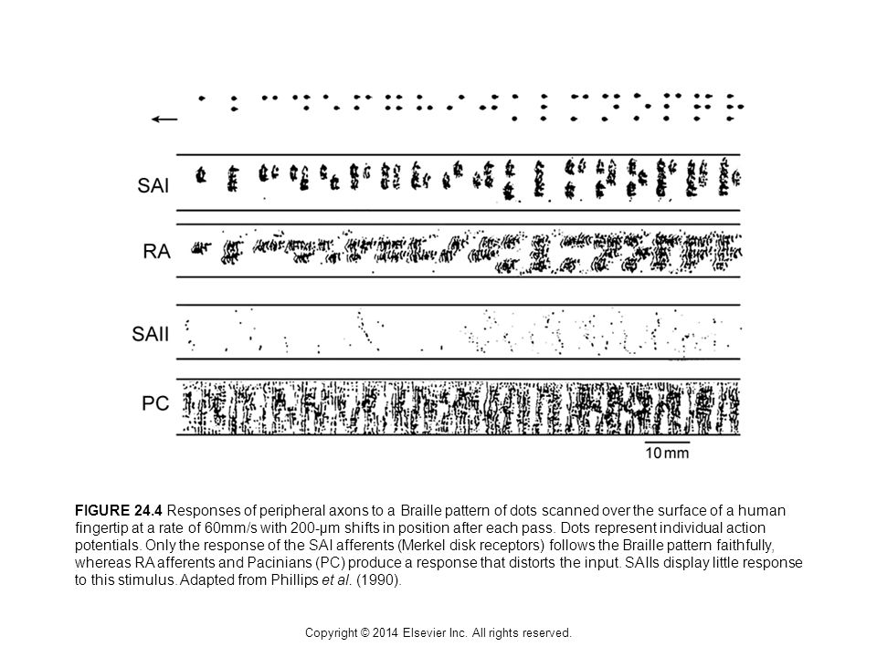 Copyright © 2014 Elsevier Inc. All rights reserved. FIGURE 24.4 Responses of peripheral axons to a Braille pattern of dots scanned over the surface of