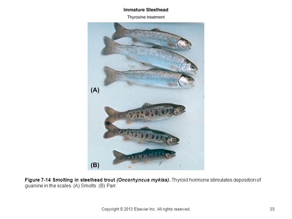 Figure 7-14 Smolting in steelhead trout (Oncorhyncus mykiss). Thyroid hormone stimulates deposition of guanine in the scales. (A) Smolts. (B) Parr. 15