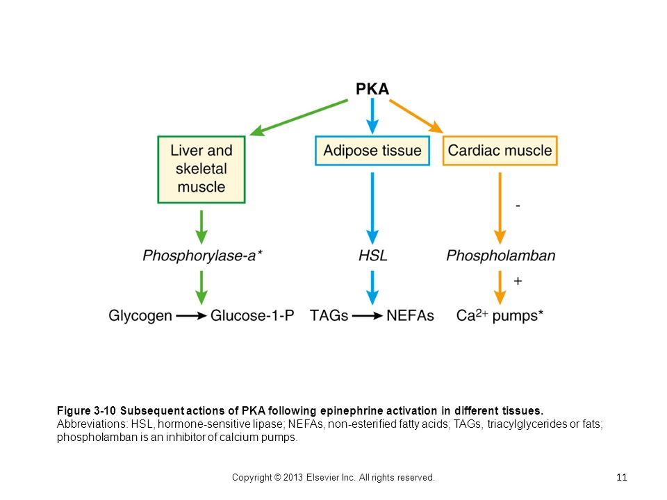 Figure 3-10 Subsequent actions of PKA following epinephrine activation in different tissues. Abbreviations: HSL, hormone-sensitive lipase; NEFAs, non-