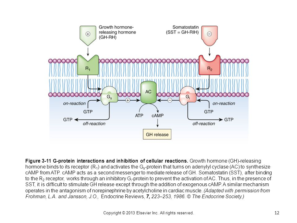 Figure 3-11 G-protein interactions and inhibition of cellular reactions. Growth hormone (GH)-releasing hormone binds to its receptor (R 1 ) and activa