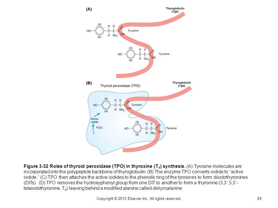 Figure 3-32 Roles of thyroid peroxidase (TPO) in thyroxine (T 4 ) synthesis. (A) Tyrosine molecules are incorporated into the polypeptide backbone of