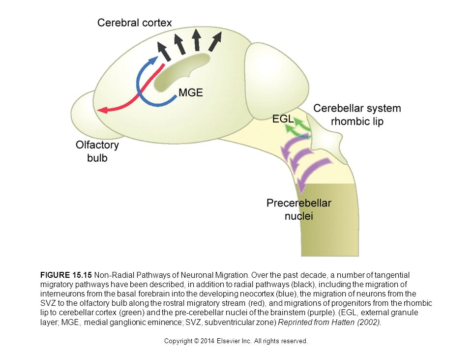Copyright © 2014 Elsevier Inc. All rights reserved. FIGURE 15.15 Non-Radial Pathways of Neuronal Migration. Over the past decade, a number of tangenti