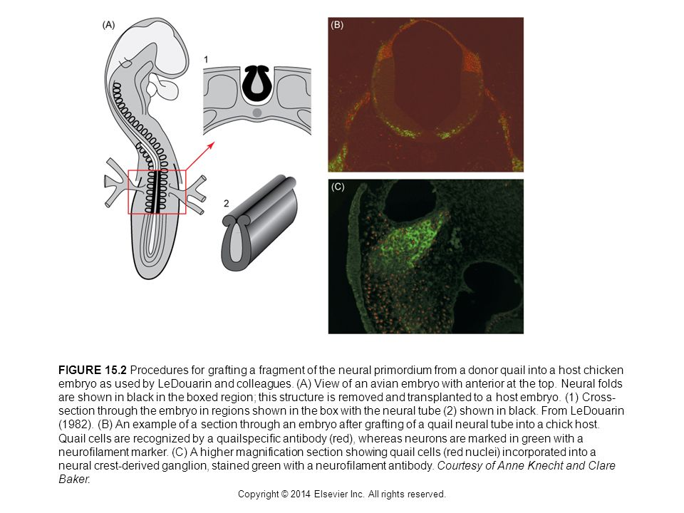 Copyright © 2014 Elsevier Inc. All rights reserved. FIGURE 15.2 Procedures for grafting a fragment of the neural primordium from a donor quail into a
