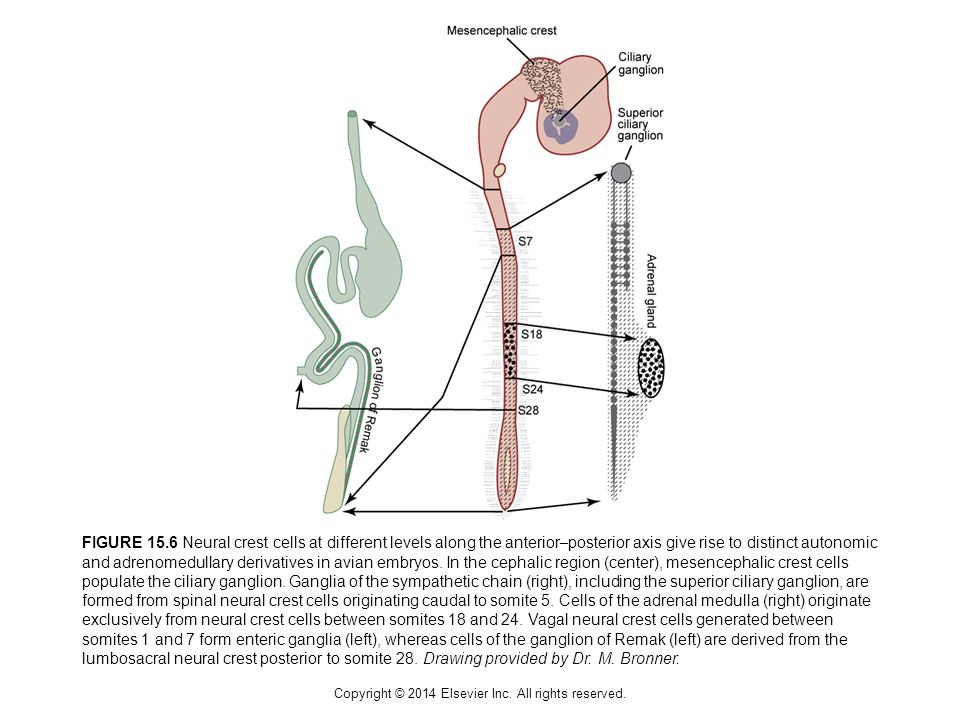 Copyright © 2014 Elsevier Inc. All rights reserved. FIGURE 15.6 Neural crest cells at different levels along the anterior – posterior axis give rise t