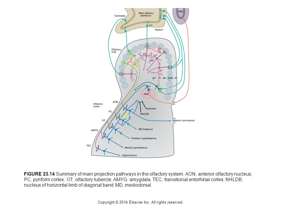 Copyright © 2014 Elsevier Inc. All rights reserved. FIGURE 23.14 Summary of main projection pathways in the olfactory system. AON, anterior olfactory
