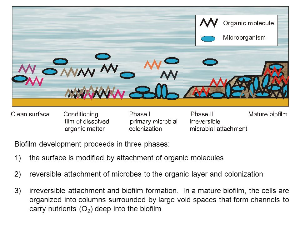 1)the surface is modified by attachment of organic molecules Biofilm development proceeds in three phases: 2) reversible attachment of microbes to the