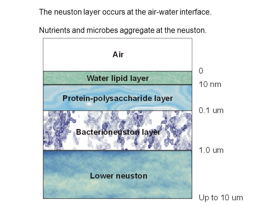 The neuston layer occurs at the air-water interface. Nutrients and microbes aggregate at the neuston.