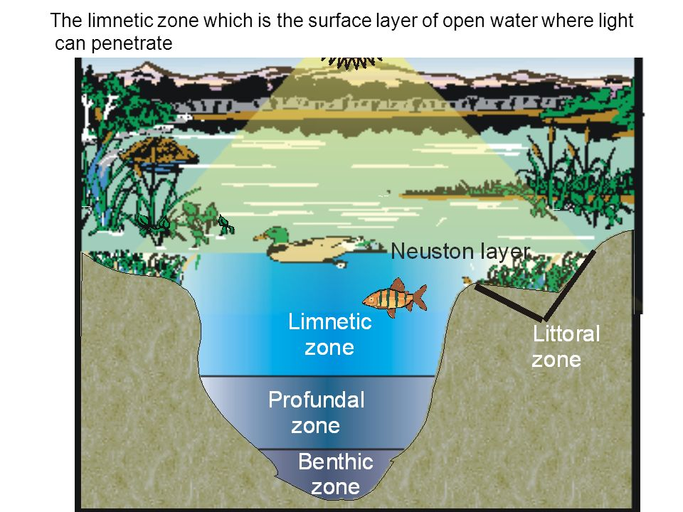 The limnetic zone which is the surface layer of open water where light can penetrate