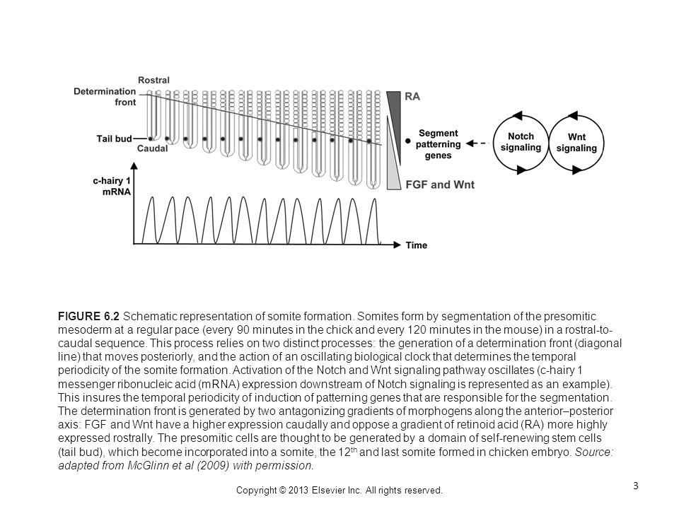 Copyright © 2013 Elsevier Inc. All rights reserved. FIGURE 6.2 Schematic representation of somite formation. Somites form by segmentation of the preso