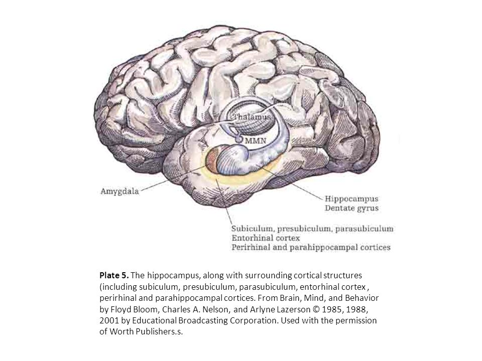 Plate 5. The hippocampus, along with surrounding cortical structures (including subiculum, presubiculum, parasubiculum, entorhinal cortex, perirhinal