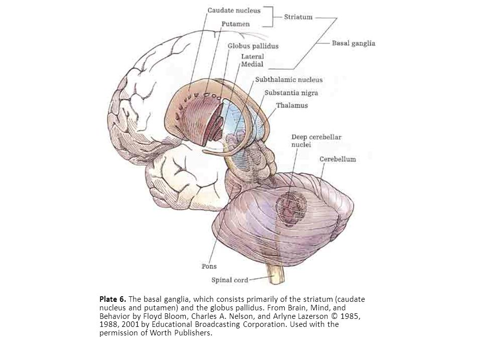 Plate 6. The basal ganglia, which consists primarily of the striatum (caudate nucleus and putamen) and the globus pallidus. From Brain, Mind, and Beha