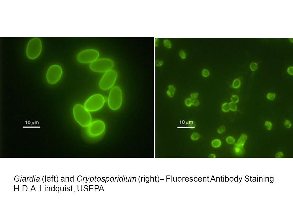 Giardia (left) and Cryptosporidium (right)– Fluorescent Antibody Staining H.D.A. Lindquist, USEPA