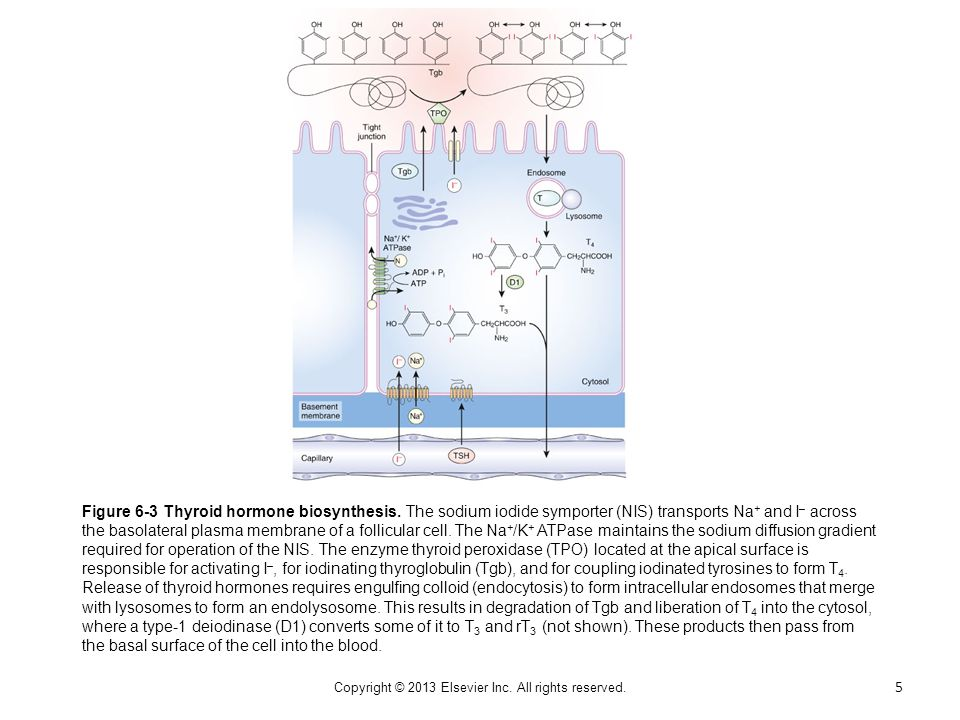 Box Figure 6D-2 Theoretical model for the potential role of thyronamines modulating T 3 action in a target cell.