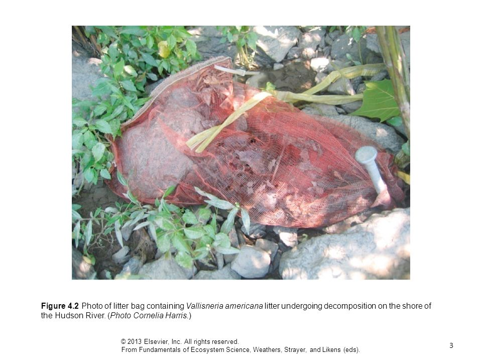3 Figure 4.2 Photo of litter bag containing Vallisneria americana litter undergoing decomposition on the shore of the Hudson River.