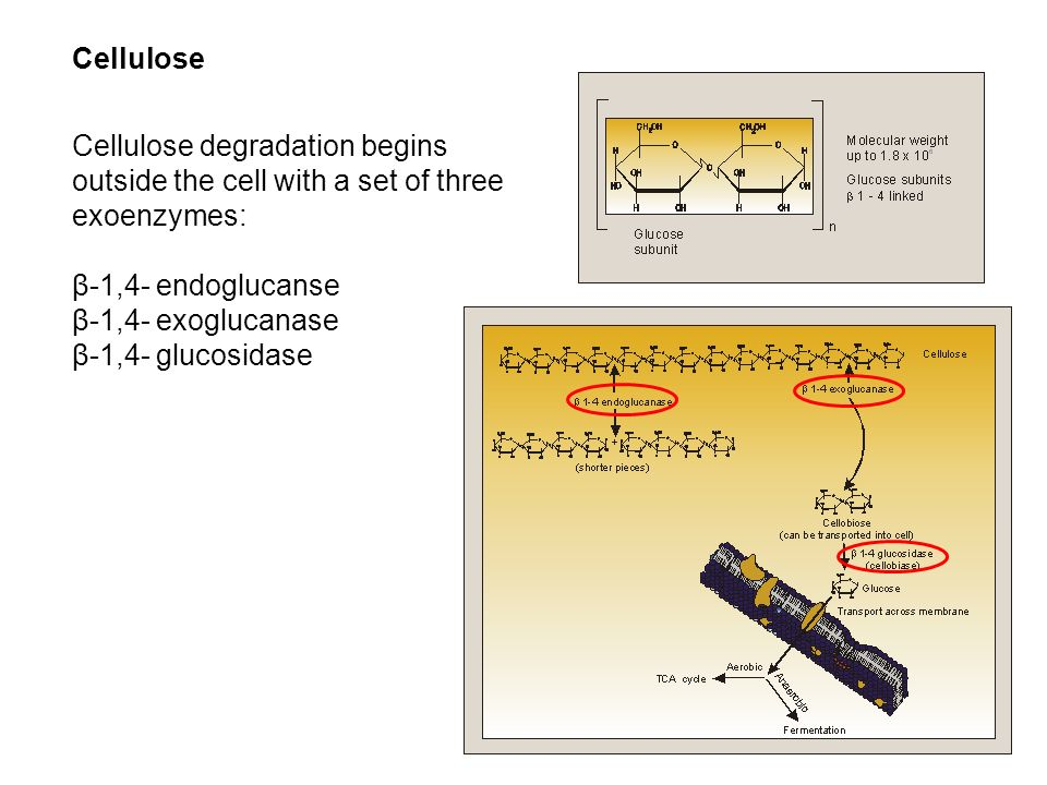 Cellulose Cellulose degradation begins outside the cell with a set of three exoenzymes: β-1,4- endoglucanse β-1,4- exoglucanase β-1,4- glucosidase