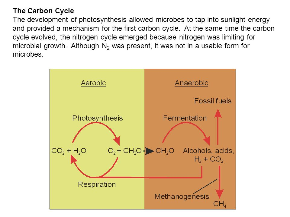 The Carbon Cycle The development of photosynthesis allowed microbes to tap into sunlight energy and provided a mechanism for the first carbon cycle. A