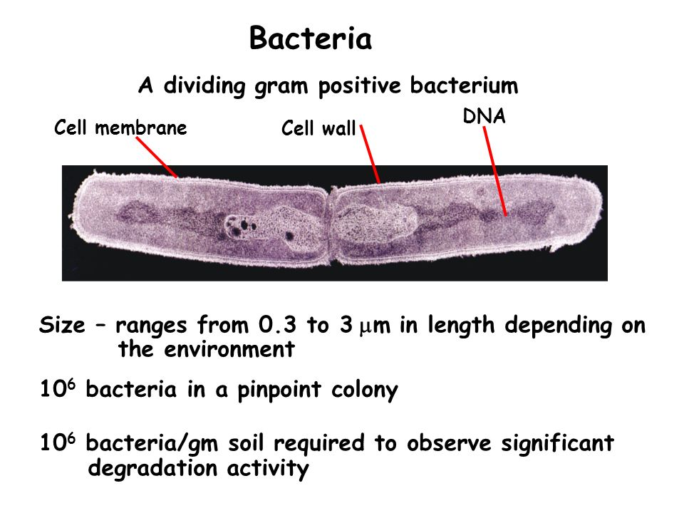 DNA Cell wall Cell membrane A dividing gram positive bacterium Bacteria Size – ranges from 0.3 to 3 m in length depending on the environment 10 6 bact