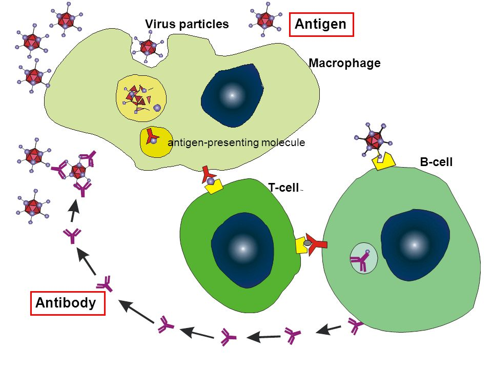 There are five classes of antibodies, we will focus on the IgG class.