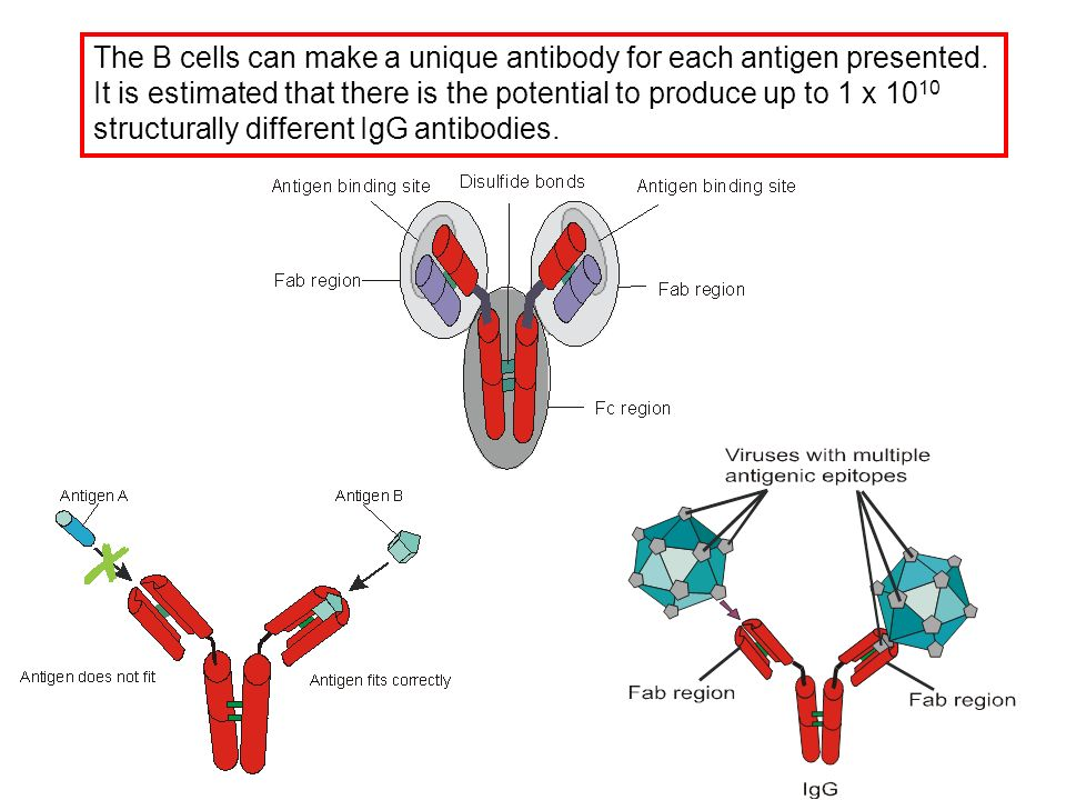 Production of antibodies 1.Polyclonal antibodies – a mix of many different antibodies that recognize different determinants on an antigen.