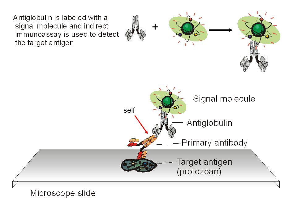 Detection of the antibody-antigen complex 1.Direct or indirect immunofluorescence 2.Direct ELISA (detects antigen) useful for - environmental samples - medicine drug testing hormone testing 3.