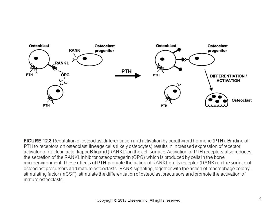 Copyright © 2013 Elsevier Inc. All rights reserved. FIGURE 12.3 Regulation of osteoclast differentiation and activation by parathyroid hormone (PTH).