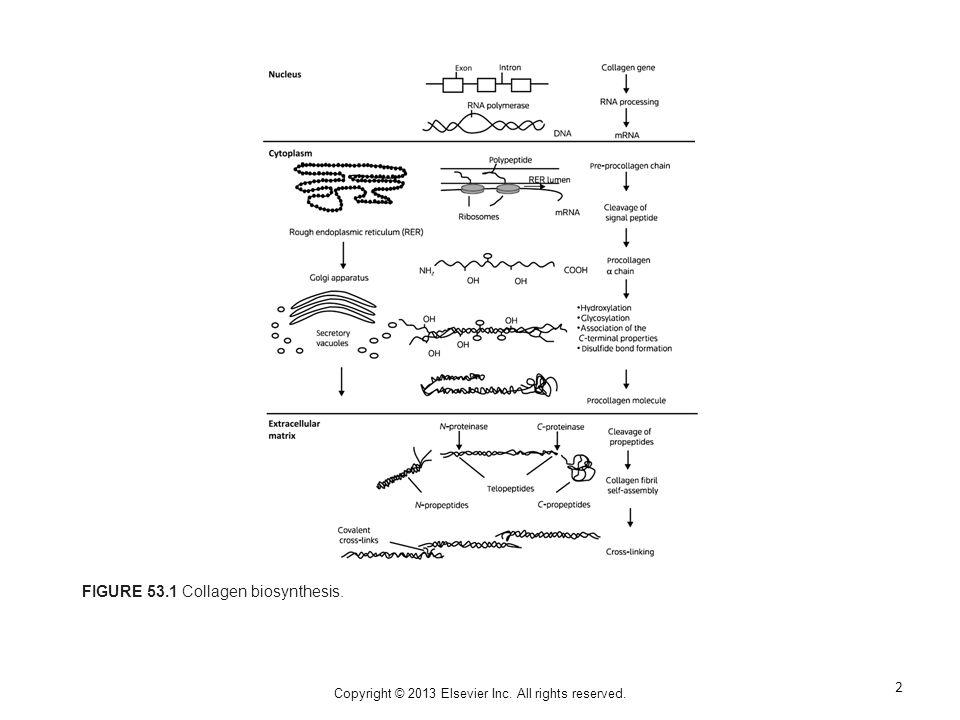 FIGURE 53.1 Collagen biosynthesis. 2