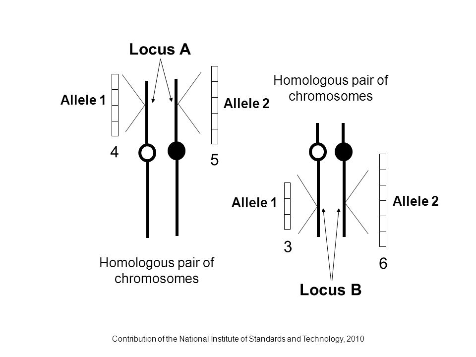 Contribution of the National Institute of Standards and Technology, 2010 6 3 4 5 Homologous pair of chromosomes Locus A Locus B Allele 1 Allele 2 Alle